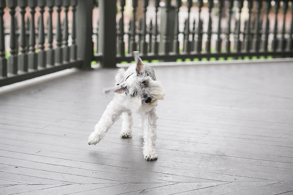 © Courtney Sargent Photography | Schnauzer shaking off rain