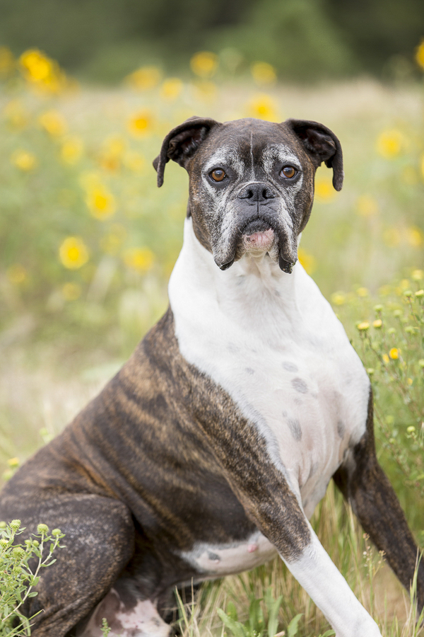 senior-Boxer-sitting-among-yelow-flowers