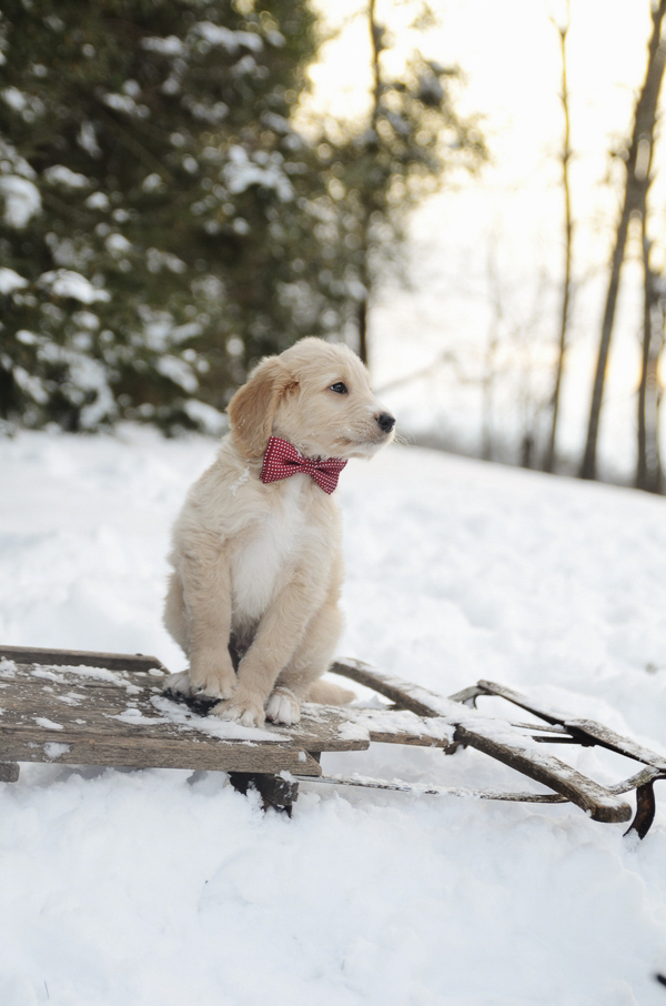 Goldendoodle puppy wearing red bow tie sitting on sled, on location pet photography