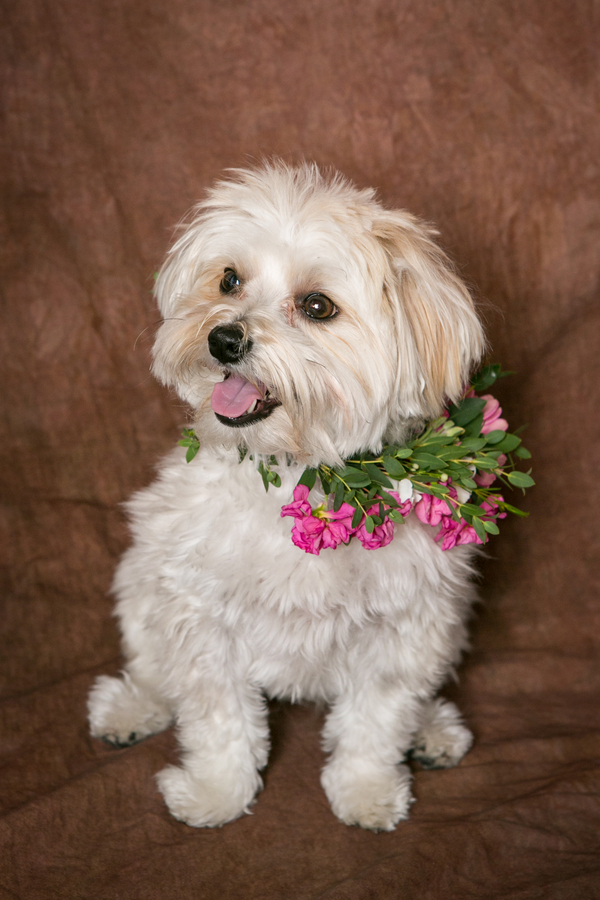Morkie in pink flower colllar