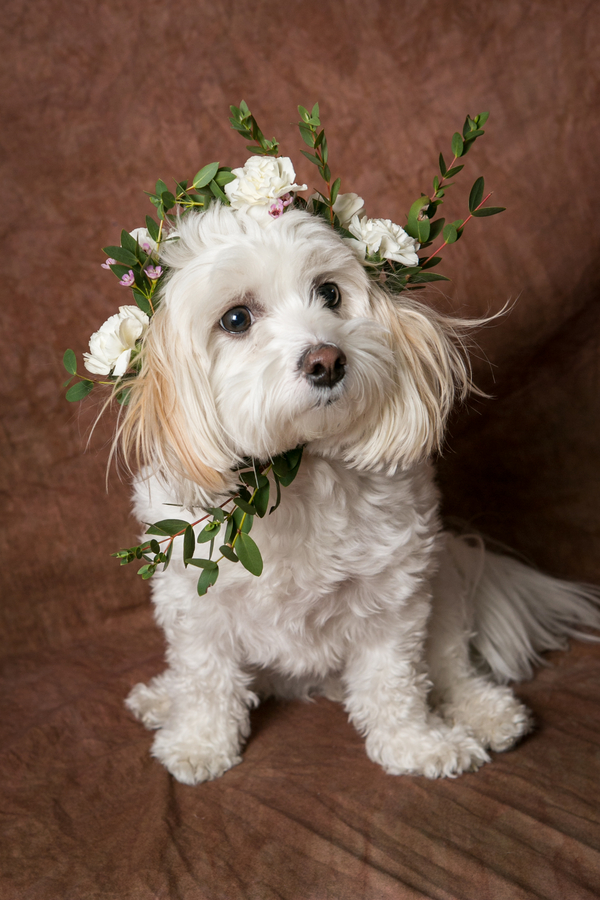 Shih-Tzu Bichon mixed breed wearing flower crown, ideas for dogs in wedding
