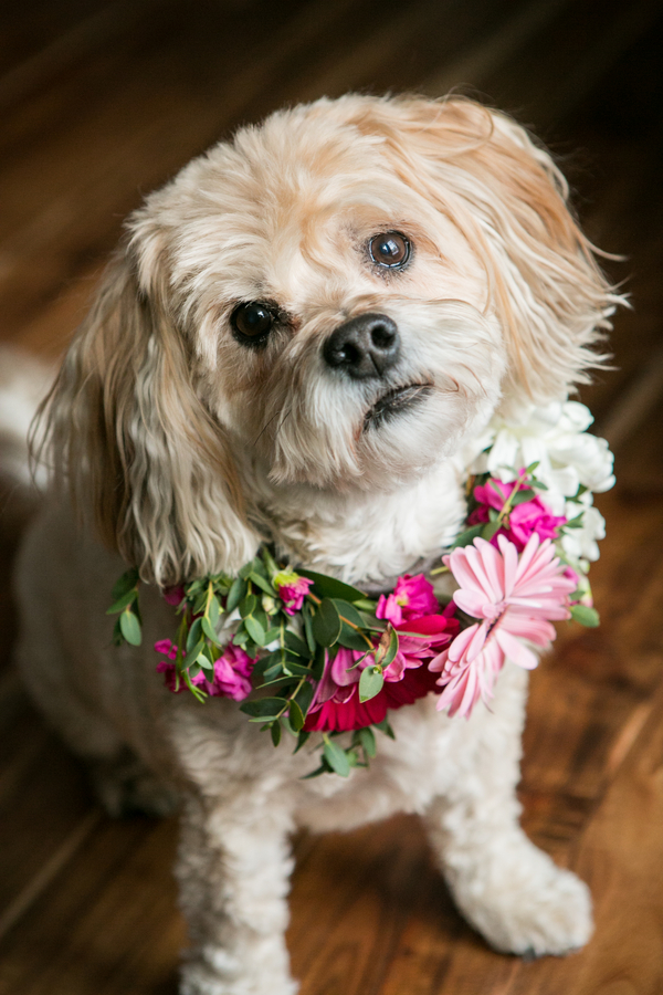 Yorkie-Bichon mixed breed wearing real flower collar