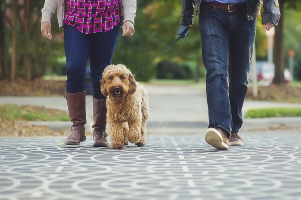 golden Labradoodle walking with owners in Charlotte, NC