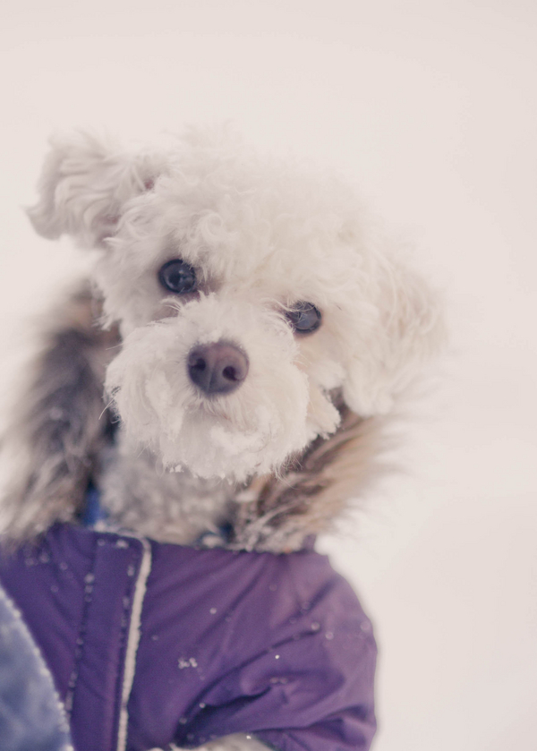 ©Laurentina Photography | small white dog wearing purple coat, Snowzilla 2016, Bichon Bolognese