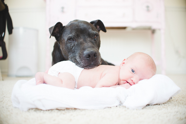 sweet pittie resting head on newborn, safety first when photographing babies and dogs