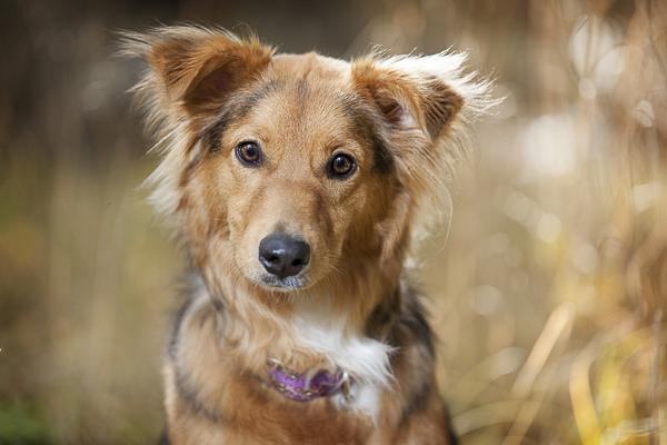 fluffy brown, black white dog, mixed breed in field, on location dog photography