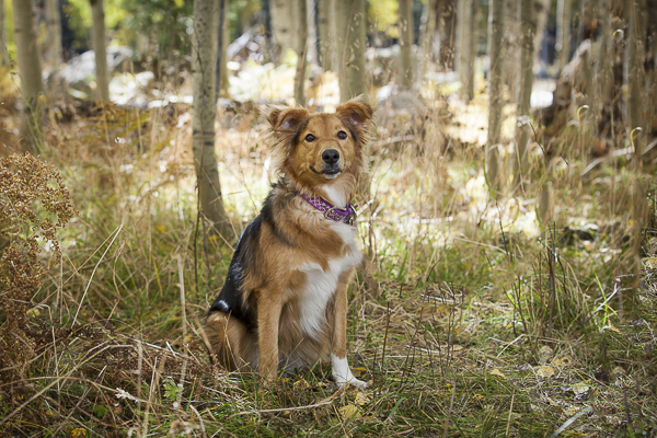 Sheltie/Aussie dog sitting in woods, on location pet photography