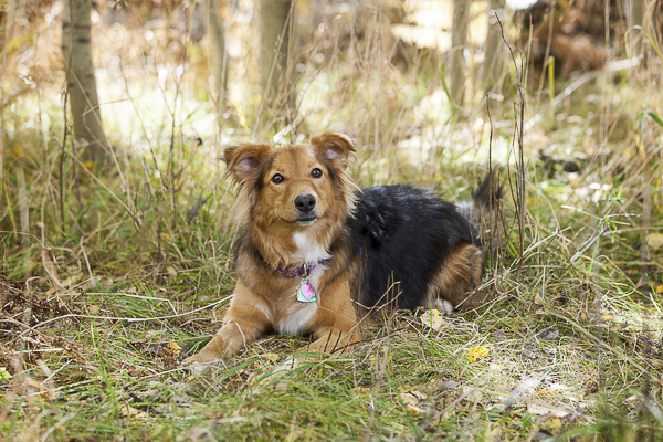 black, brown Aussie/Sheltie dog lying on grass, lifestyle dog photography