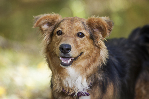 mixed breed smiling, Sheltie/Aussie cross