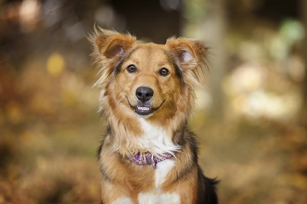 smiling dog, on location dog photography, Sheltie/Aussie mixed breed