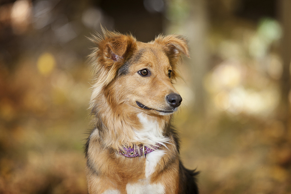 gorgeous dog portraits, Aussie mix wearing purple collar in woods
