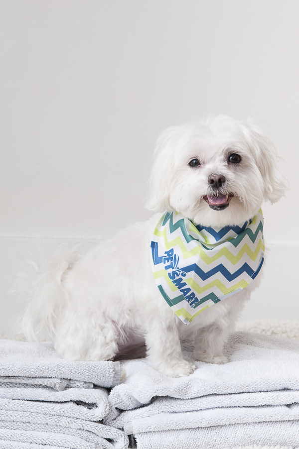 Petsmart Grooming, Maltese wearing green blue chevron bandana