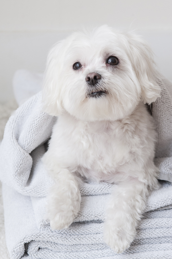 Maltese wrapped in towel, dog grooming