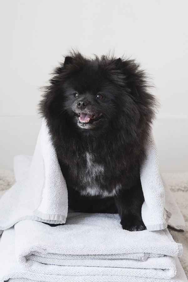 Black Pomeranian sitting on towels