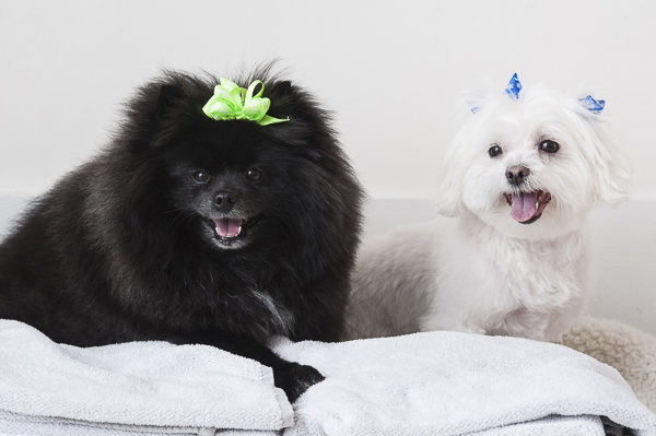 Petsmart Grooming The Daily Dog Tag, black Pomeranian, white Maltese sitting on towels, spa day for dogs