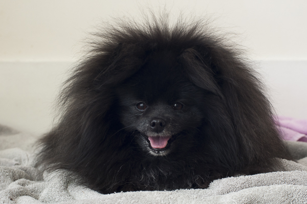 very hairy black Pom, before PetSmart grooming