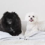 freshly groomed Pomeranian, Maltese