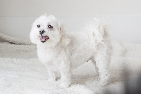 Maltese after grooming standing on towels