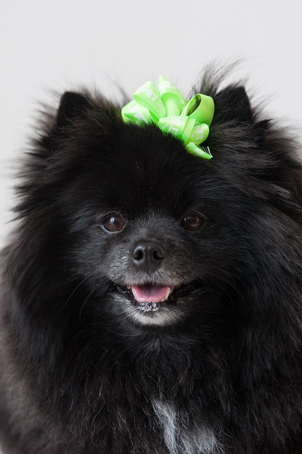 Pomeranian after Petsmart Grooming