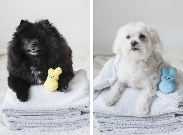 Pomeranian, Maltese with Peeps after #PetSmartGrooming