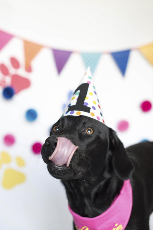 Puppy Cake Smash, Black Lab sticking out tongue