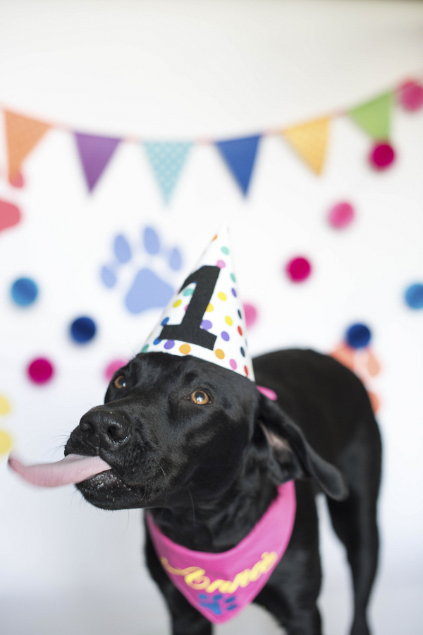 Dog wearing birthday hat sticking out tongue