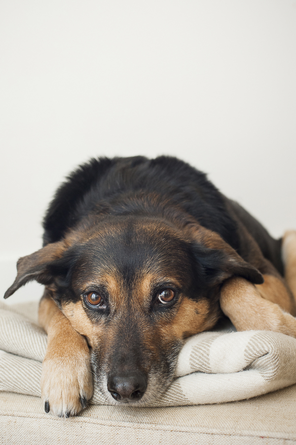 black and brown dog relaxing on blanket