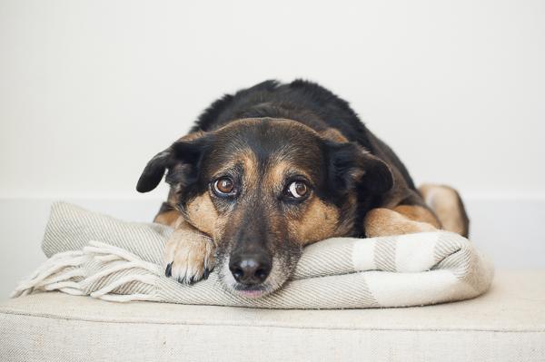 medium-large dog lying on blanket, lifestyle dog photography