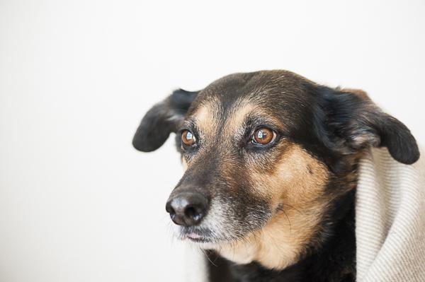 GSD, hound mixed breed, Syracuse dog photography