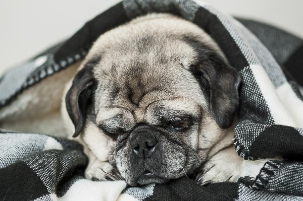 sleeping Pug under blanket, snug as a pug in a rug