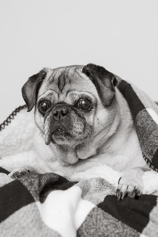 black,white Pug portraits, Syracuse pet photography