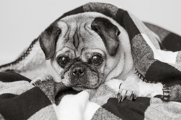Adorable Pug under Buffalo plaid blanket,