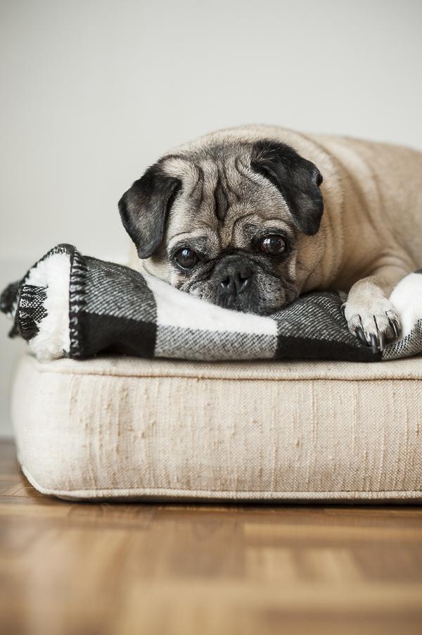 senior Pug lying on black-white Buffalo plaid blanket