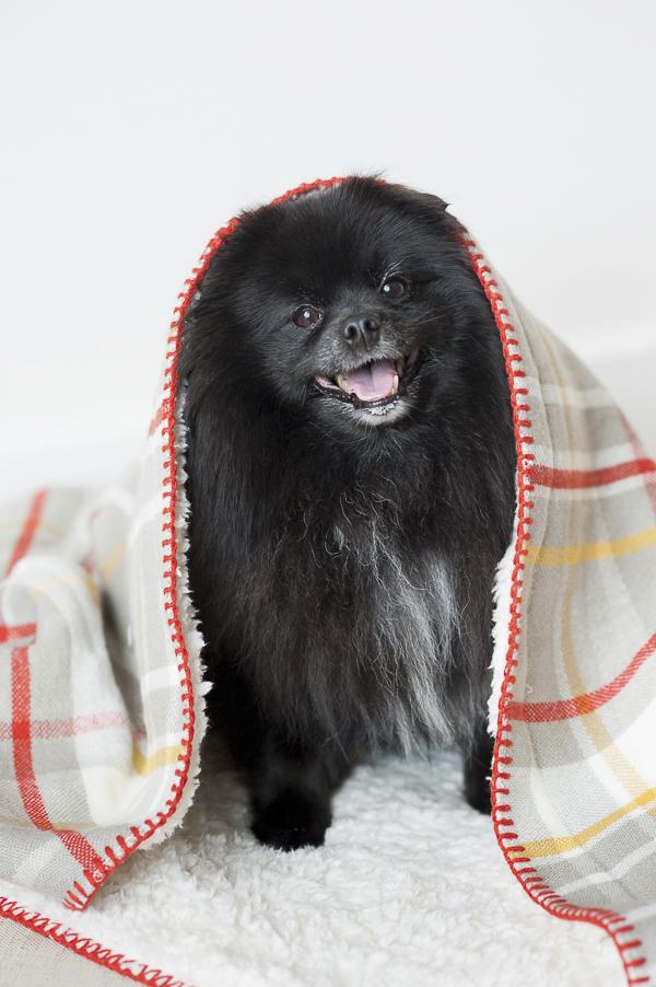 happy smiling black Pomeranian under fuzzy blanket