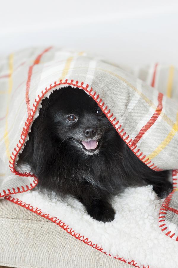 Pom peeking out under blanket, lifestyle dog photography