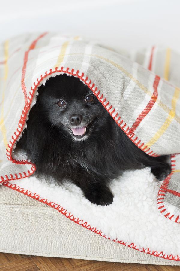 cute dog under blanket