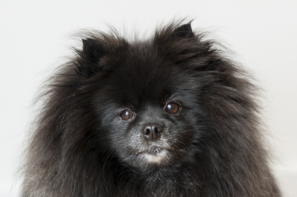 fluffy black Pomeranian serious expression, Central New York pet photography