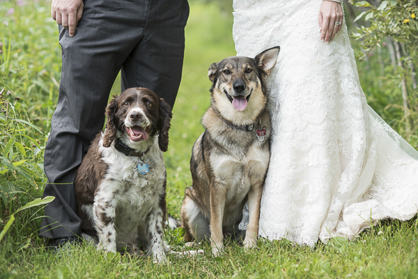 Springer Spaniel, Husky-Shepherd cross, bride, groom