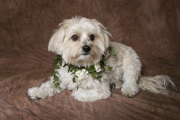 small dogs, floral collar, studio dog photography