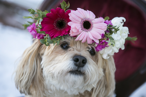 Bichon-Yorkie mix wearing wreath made of Gerber daises, mums and more