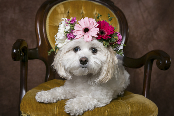 small dog wearing floral crown sitting on chair