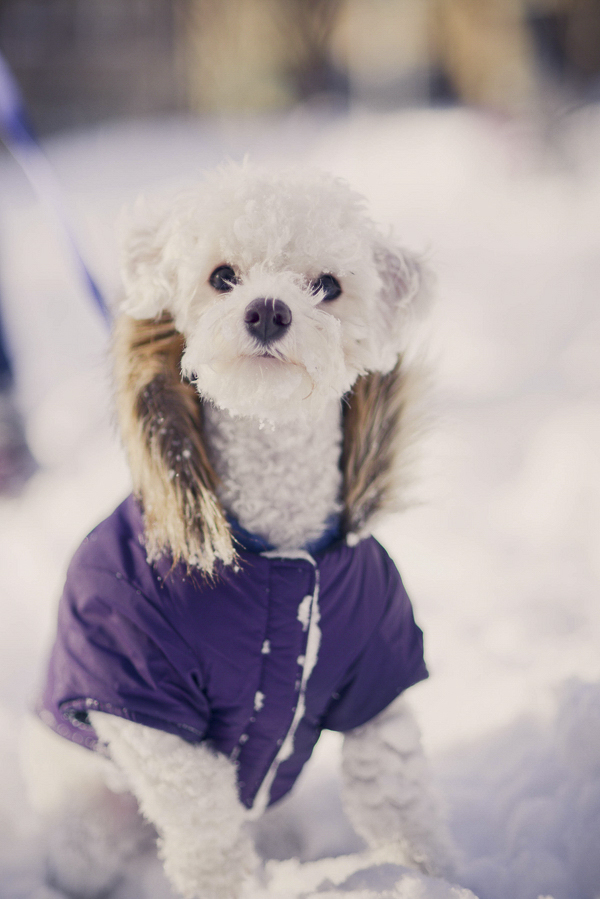©Laurentina Photography |snow dog wearing purple coat, Bichon Bolognese