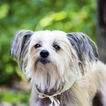Chinese Crested wedding dog