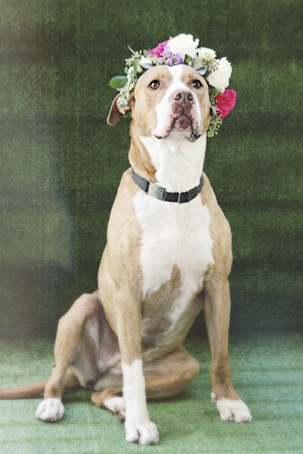 Adoptable Pets Worcester County Humane Society, Pit bull wearing floral crown