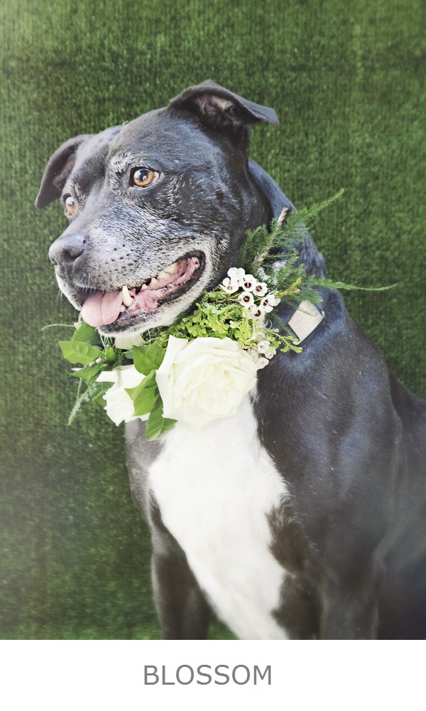 Adoptable Pets Worcester Humane-BLOSSOM