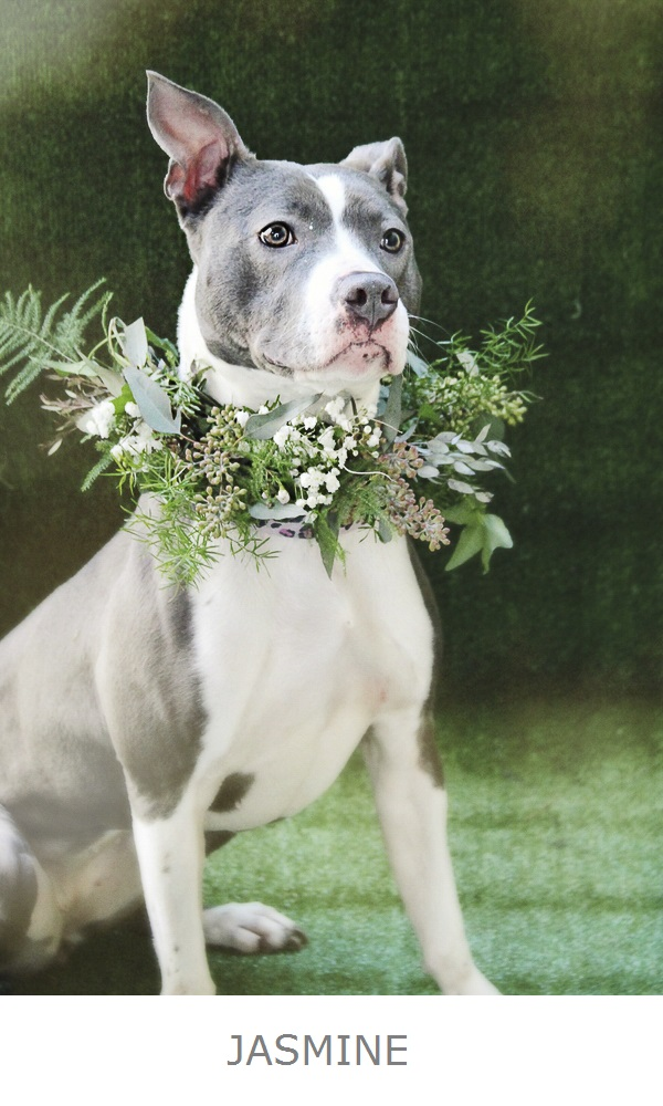 beautiful gray white pittie mix wearing gorgeous floral wreath by Little Miss Lovely, adoptable dogs Worcester County Humane Society