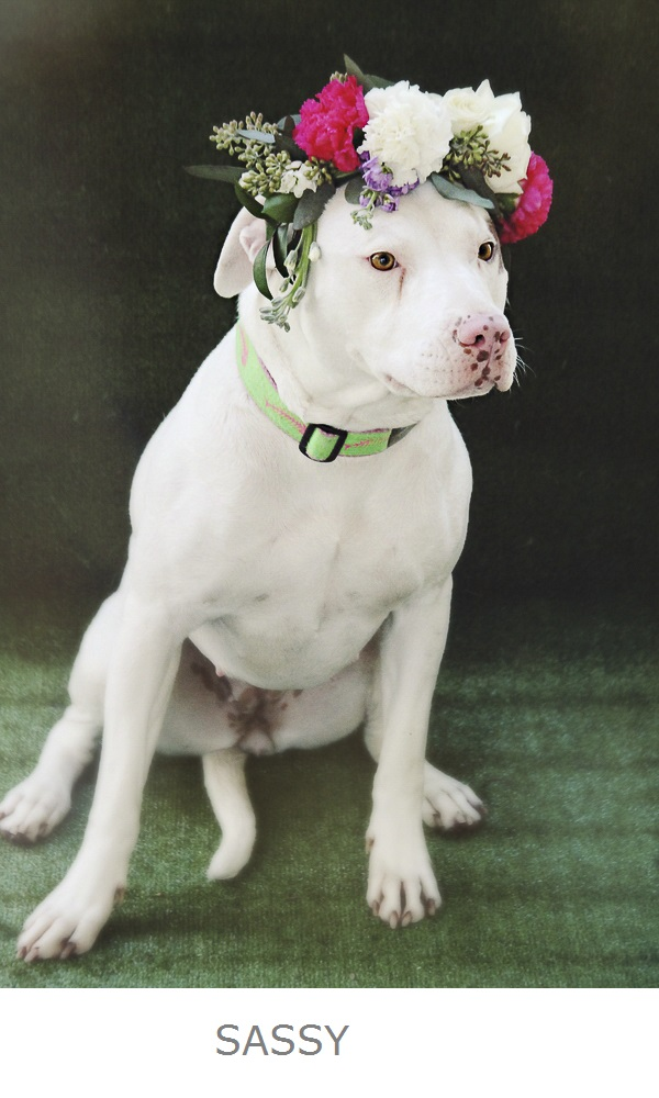 adoptable white pit bull with brown spot wearing pink white floral headpiece, Worcester County Humane Society-SASSY