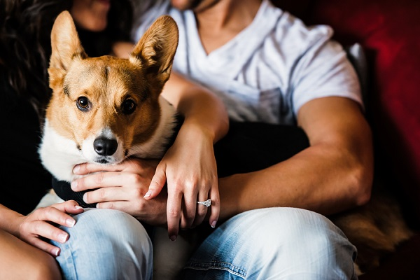 Welsh Corgi sitting on laps, engagement photos
