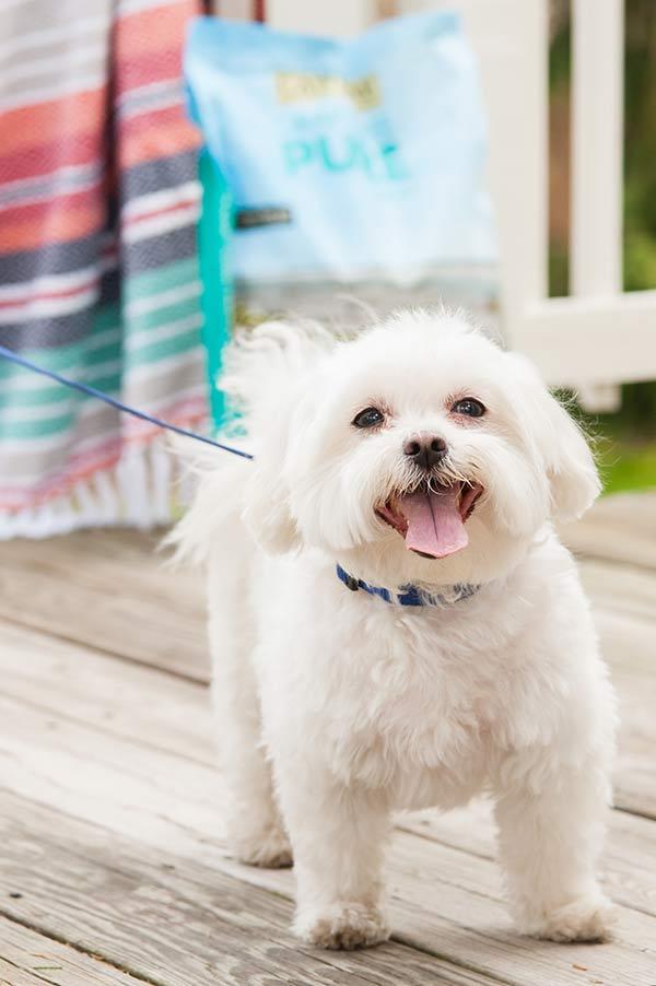 happy Maltese standing on deck