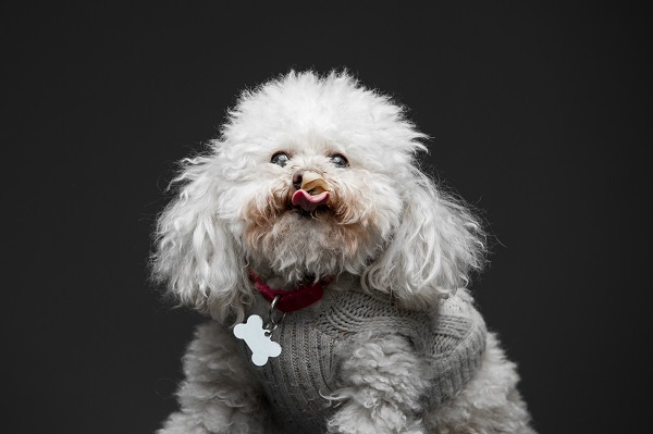rescued poodle mix in gray sweater eating peanut butter © Greg Murray Photography | For the Love of Peanut Butter